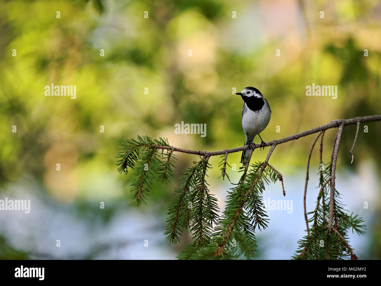 Wagtail standing  on spruce branch - Stock Image