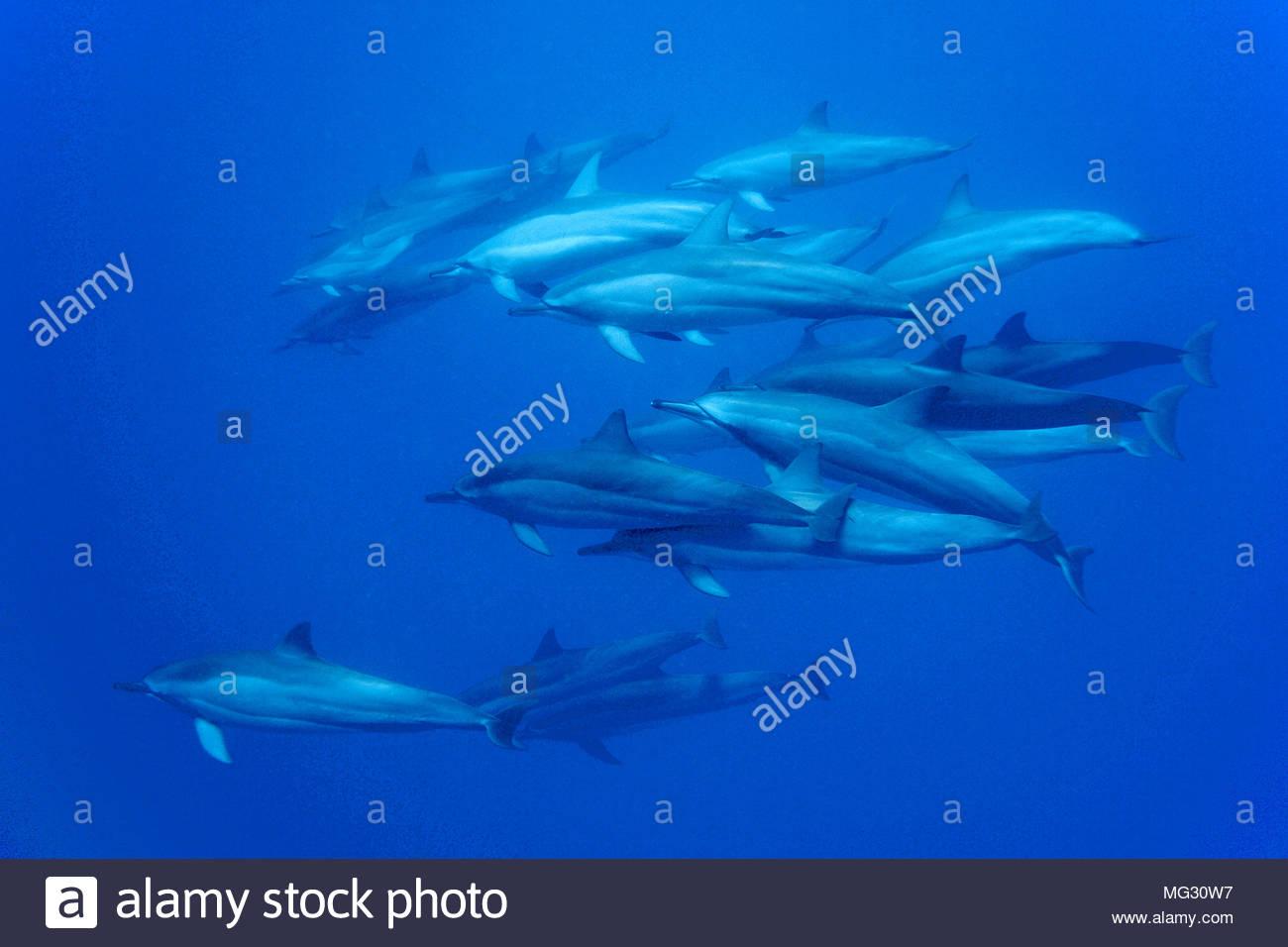 Spinner dolphin (Stenella longirostris), pod of dolphins, National marine sanctuary, Baia dos Golfinhos, Fernando de Noronha, Brazil - Stock Image