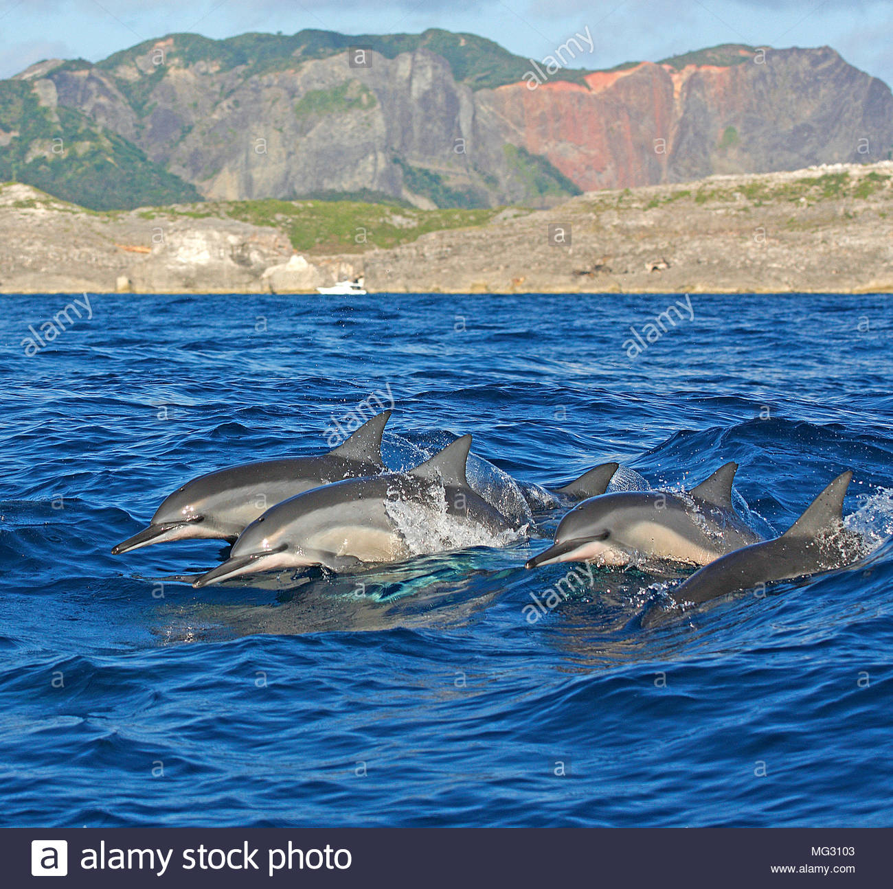 Spinner dolphin (Stenella longirostris) pod of dolphins at surface, Ogasawara Islands, Japan - Stock Image