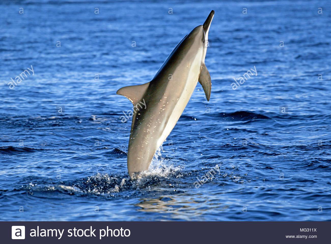 Spinner dolphin (Stenella longirostris), leaping, Ogasawara Islands, Japan - Stock Image