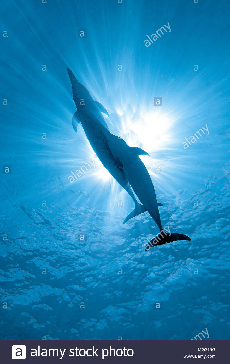 Atlantic spotted dolphin (Stenella frontalis), pair against sunlight, Bahama Banks, Bahamas - Stock Image