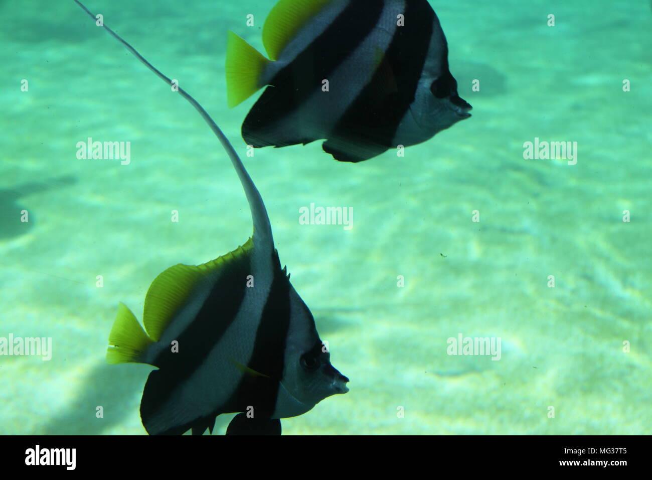 Shoal of Longfin Bannerfish (Heniochus Acuminatus) - Stock Image