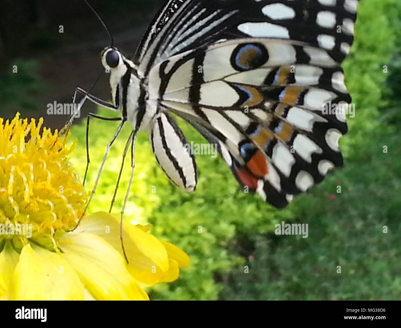 White butterfly - Stock Image