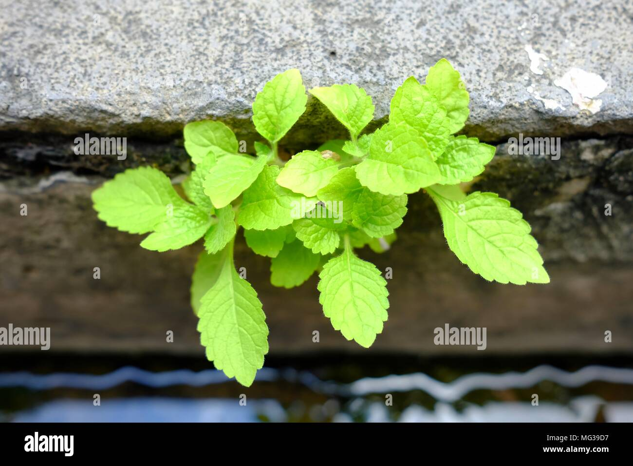 Green Plant Growing in Drain. Stock Photo