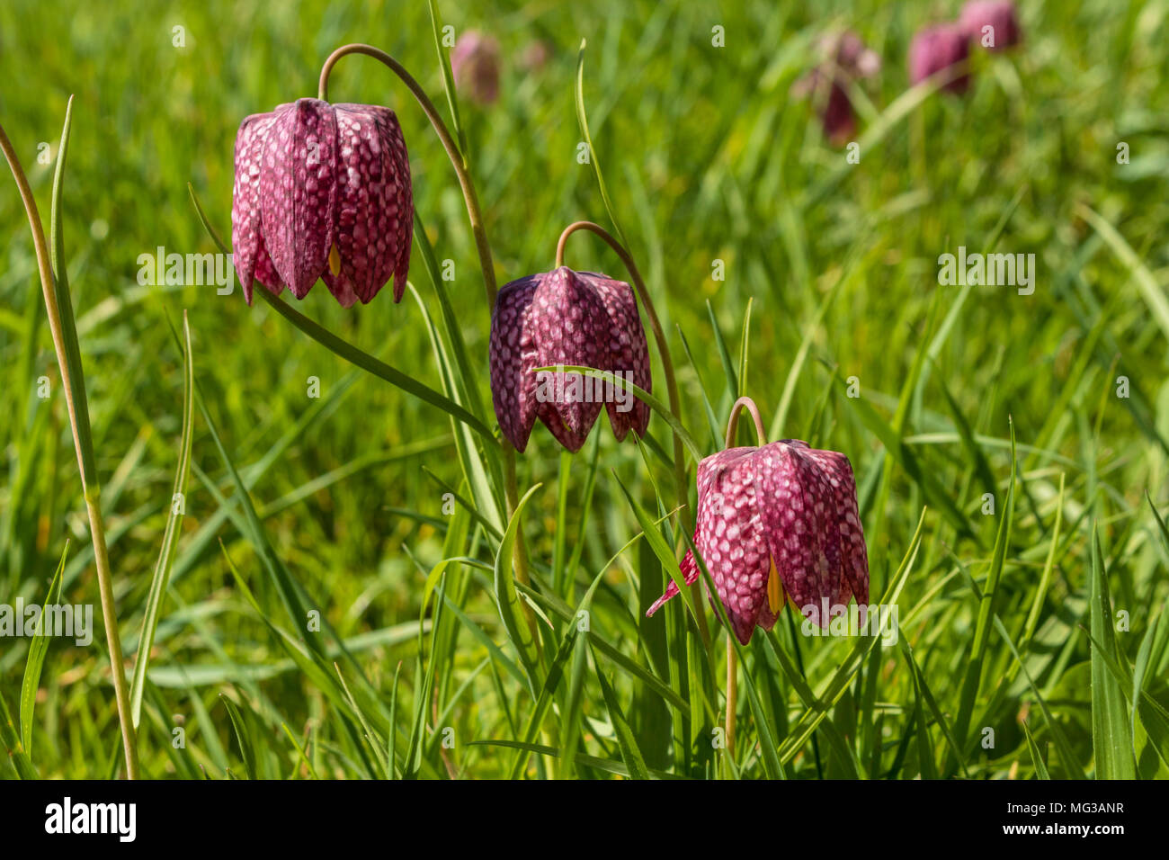 Fritillaria meleagris or snakes head fritillary wild flowers which ...