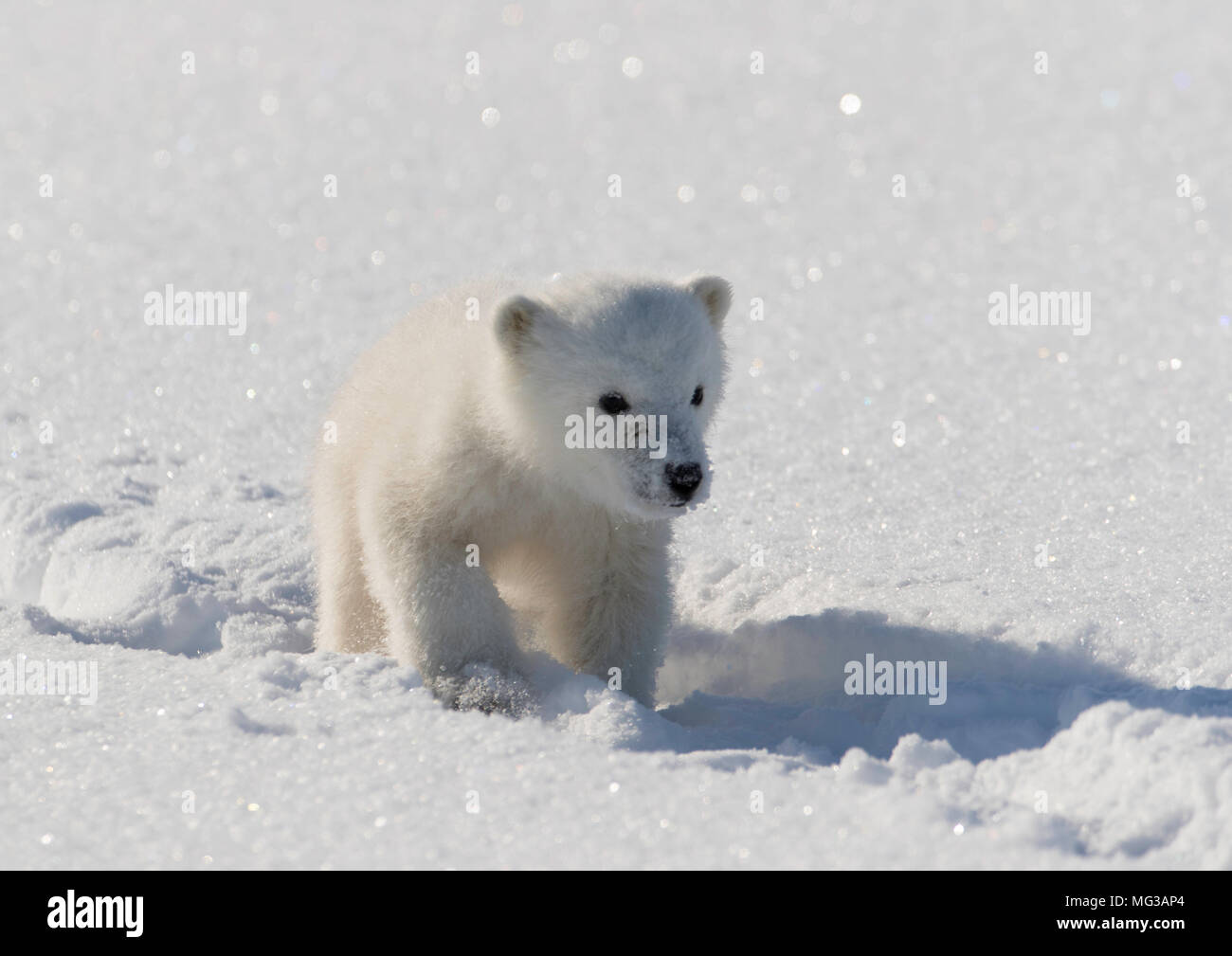 Cute Polar bear cub walks in the tracks left by its mother on the snow covered ice of a frozen fjord. - Stock Image