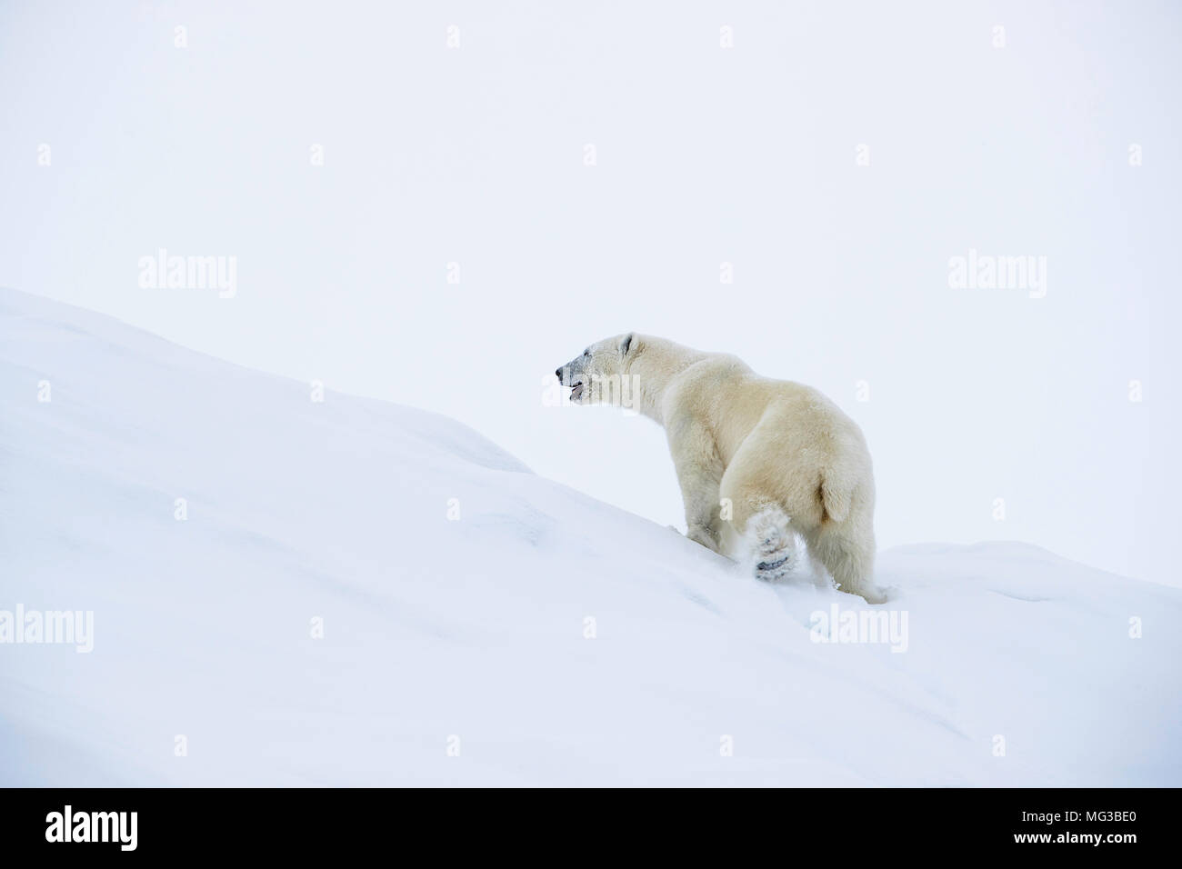 Solitary large male polar bear on an island in the frozen fjords of Baffin Islans, Arctic Cananda - Stock Image