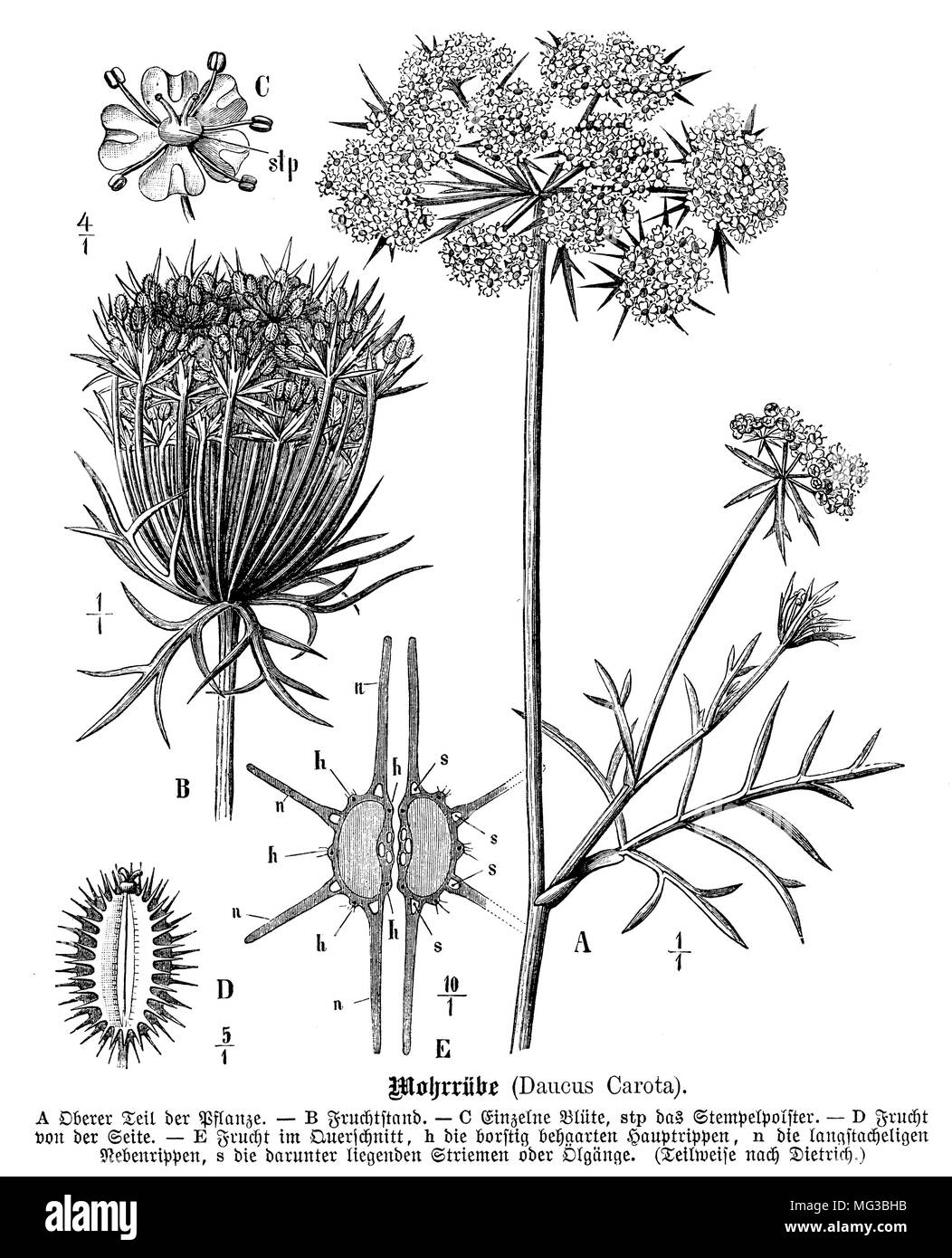 Queen Anne's Lace #97473 - PNG Images - PNGio