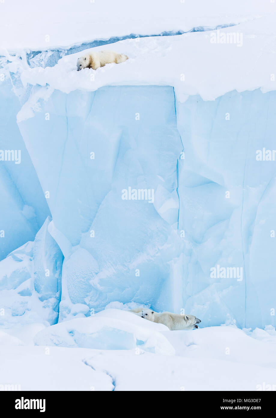 Polar bear cube seperated from mother and sibling looks down from the top of an iceberg - Stock Image