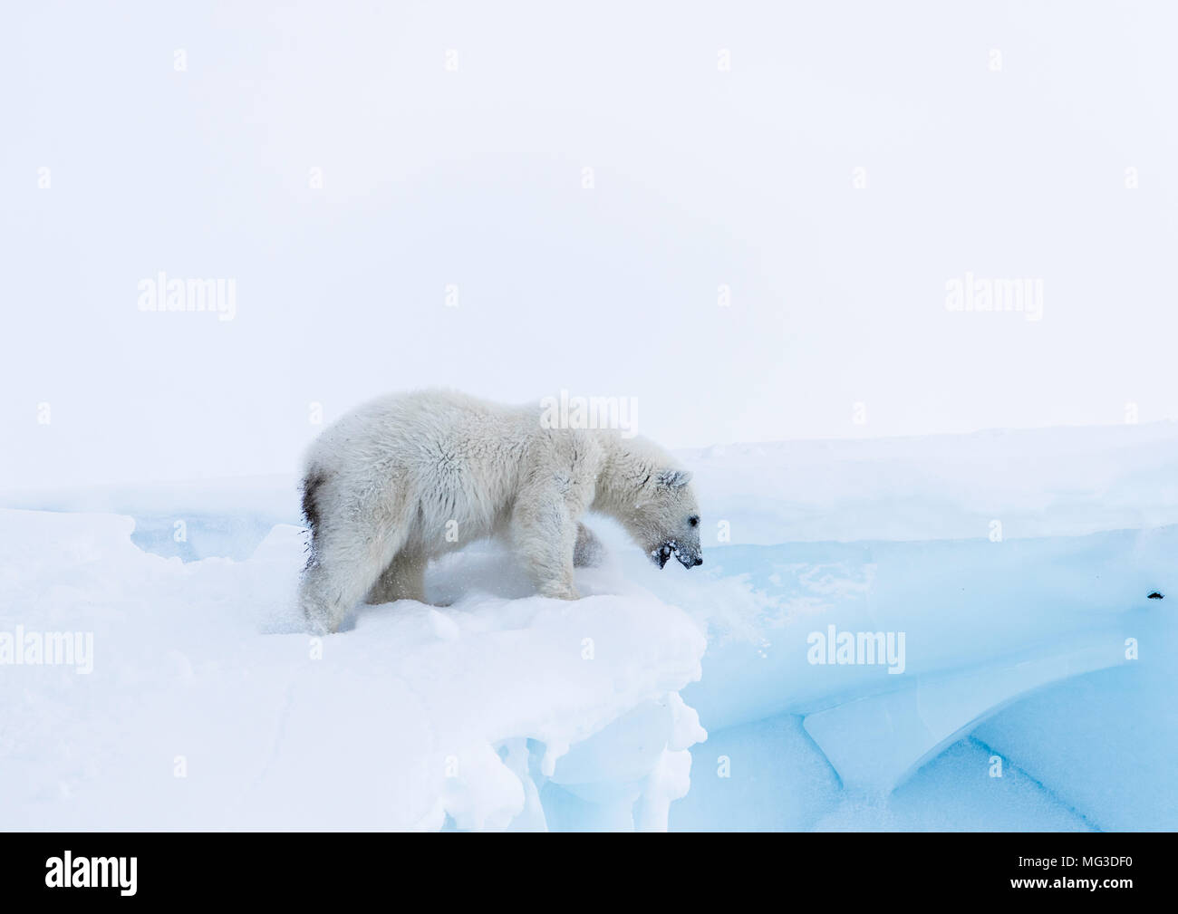 Year old juvenile polar bear cub on top of an iceberg.  Baffin, Arctic Canada - Stock Image