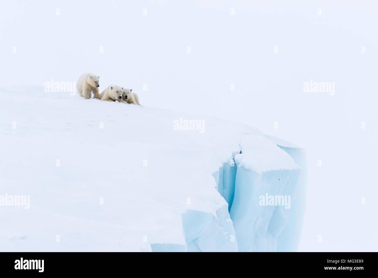 Mother polar bear and 2 yearling cubs sleeping on an iceberg, Baffin Island, Canada, nunavut, arctic - Stock Image