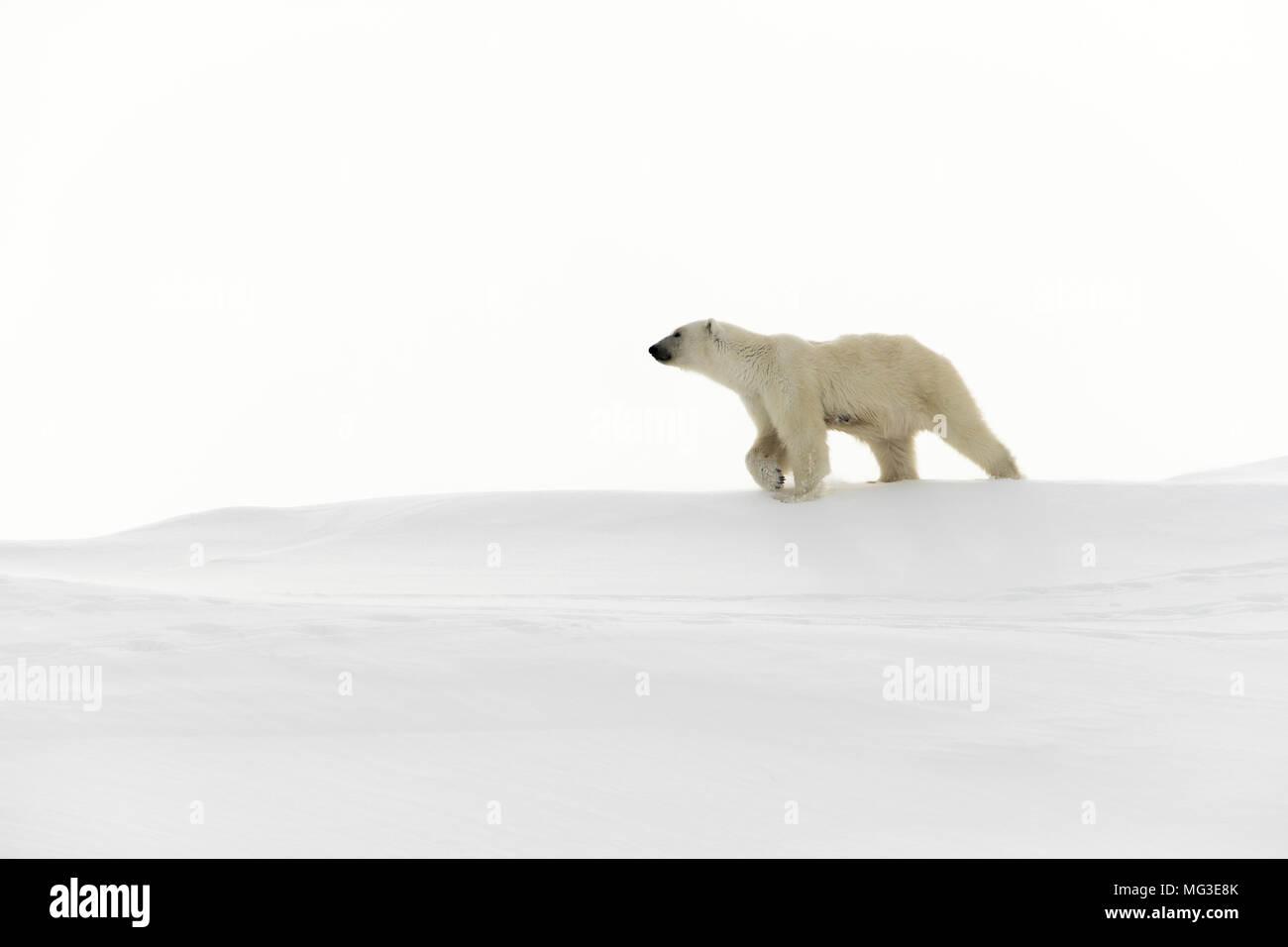 Mature adult female polar bear walks across the snow on top of an iceberg.  Baffin Island, Nunavut, Canada, Arctic - Stock Image
