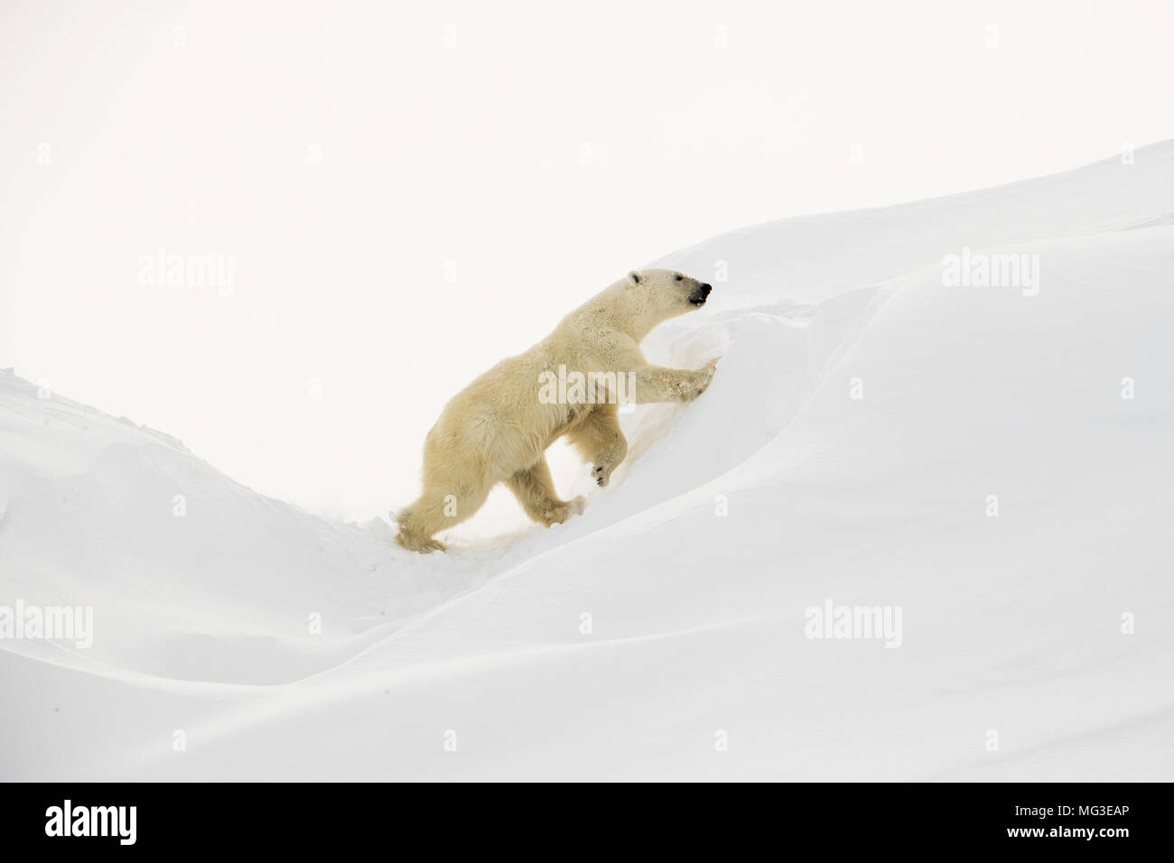 Large female polar bear climbs up a slot in an iceberg.  Baffin Island, nunavut, canada, arctic - Stock Image