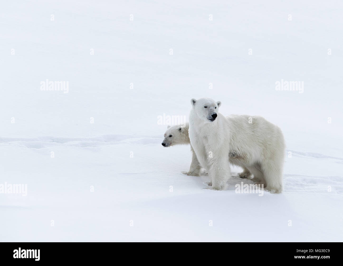 Mother polar bear and a yearling cub standing on an iceberg, Baffin Island, Canada, nunavut, arctic - Stock Image
