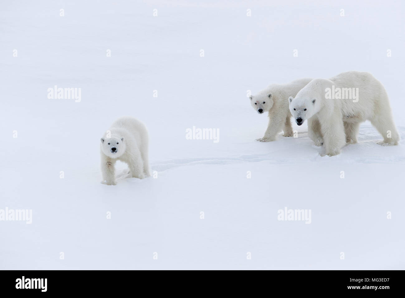 Mother polar bear and 2 yearling cubs walking on an iceberg, Baffin Island, Canada, nunavut, arctic - Stock Image