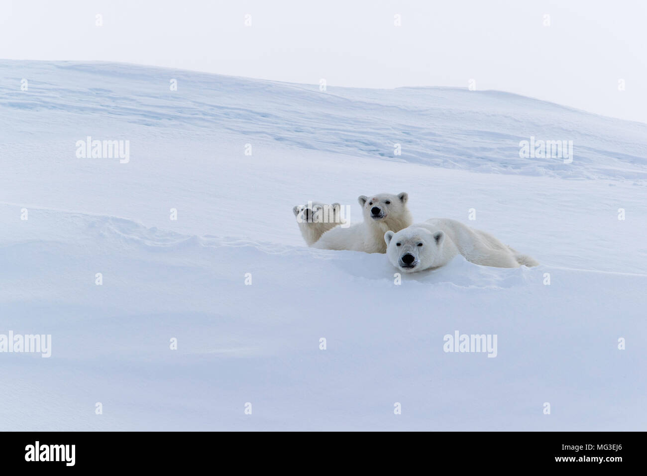 Mother polar bear and 2 yearling cubs lying down and watching from an iceberg, Baffin Island, Canada, nunavut, arctic - Stock Image