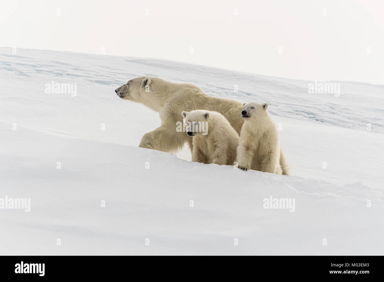 Mother polar bear and yearling cubs walking on an iceberg, Baffin Island, Canada, nunavut, arctic - Stock Image
