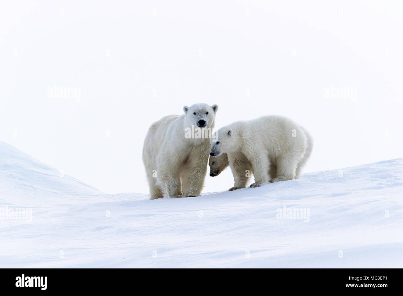 Mother polar bear and yearling cubs standing on an iceberg, Baffin Island, Canada, nunavut, arctic - Stock Image