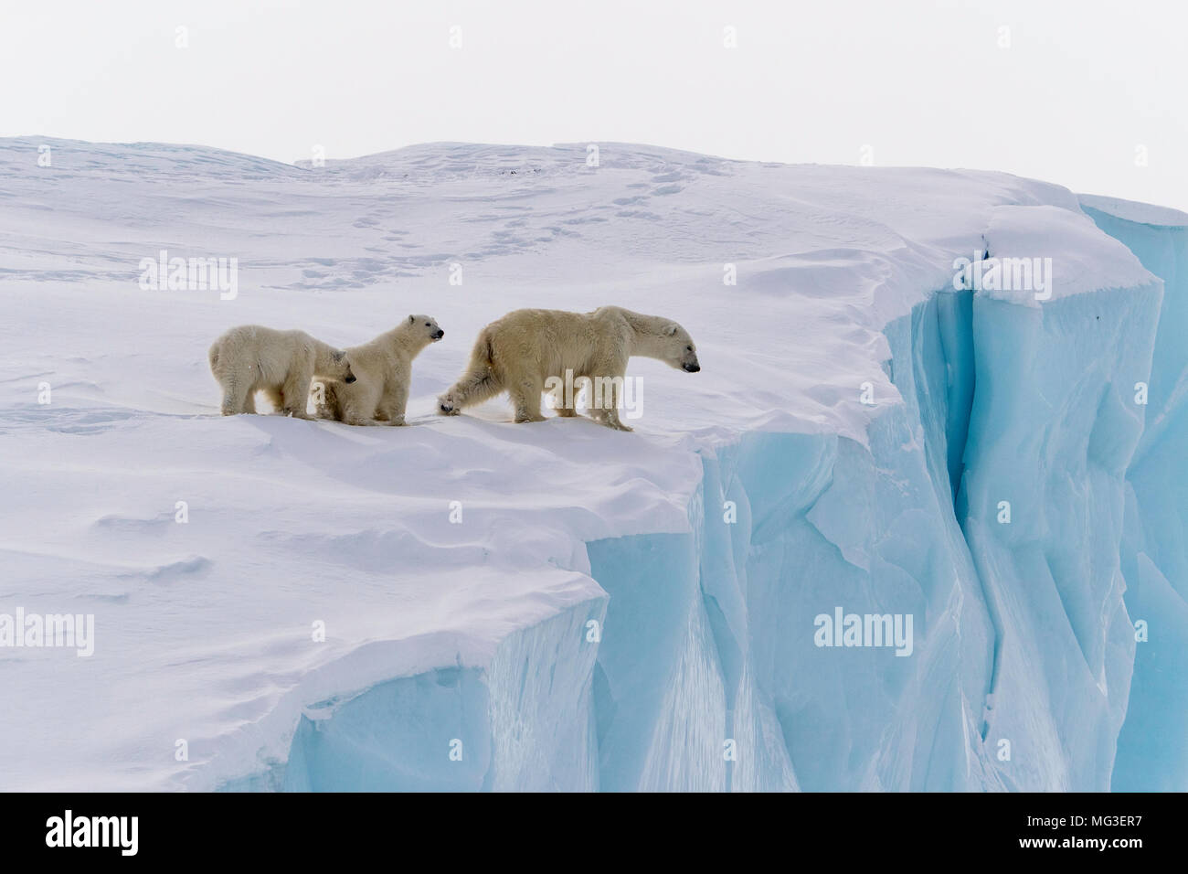 Mother polar bear and 2 yearling cubs lwalking on an iceberg, Baffin Island, Canada, nunavut, arctic - Stock Image