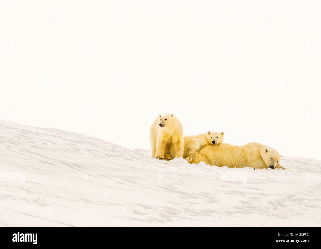Mother polar bear and 2 yearling cubs sleeping on an iceberg, Baffin Island, Canada, nunavut, arctic. - Stock Image