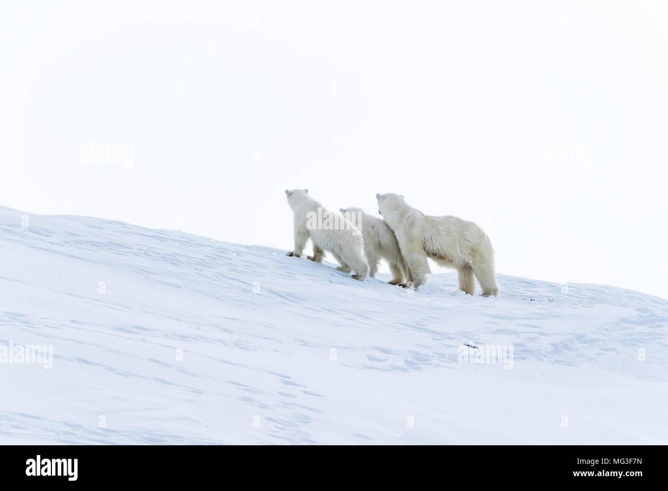 Mother polar bear and a yearling cub walking on an iceberg, Baffin Island, Canada, nunavut, arctic Stock Photo