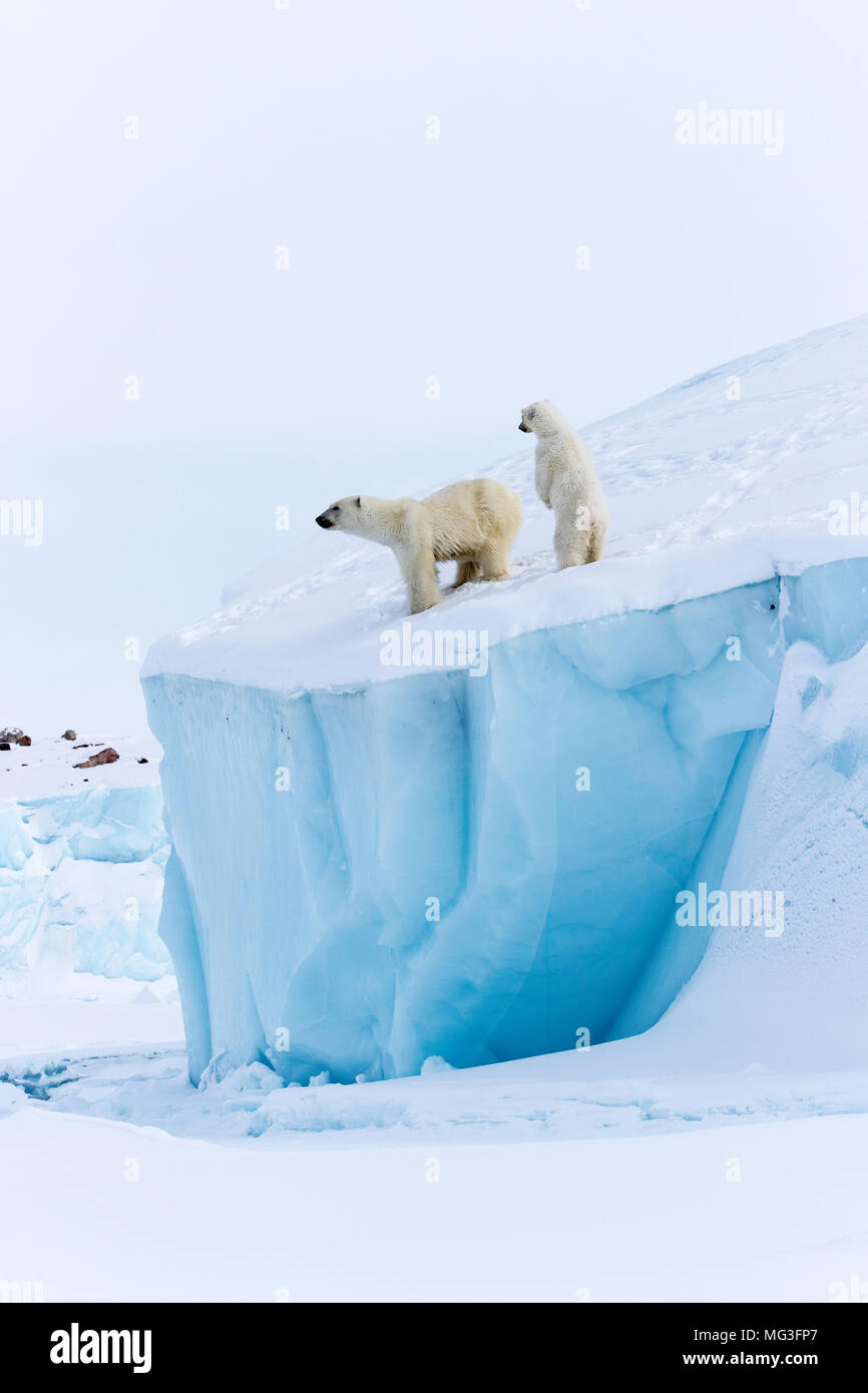 Mothe r polar bear and standing year old cub on top of an iceberg, baffin island, nunavut, canada, arctic - Stock Image