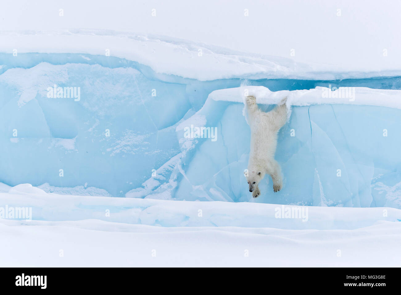 Juvenile, yearling, polar bear cub jumps off ege of iceberg.  Baffin Island, Canada, Nunavut, arctic - Stock Image