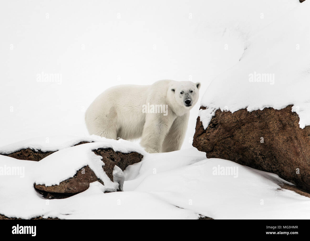 Solitary large male polar bear on the hillside.  Baffin, Nunavut, Canada, arctic - Stock Image