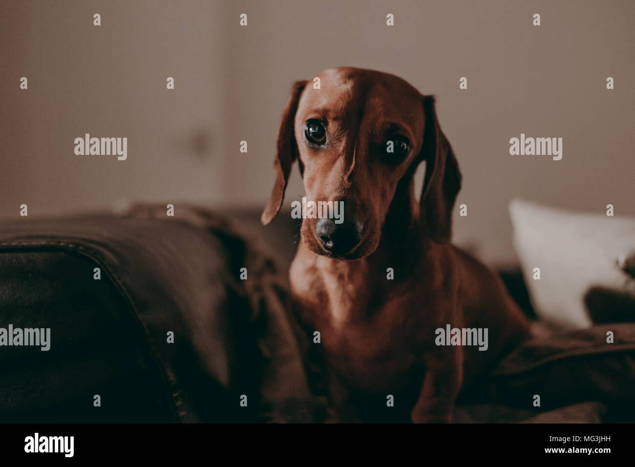 One-year-old smooth brown dachshund dog standing on a sofa inside an apartment, looking in the camera, in the evening, moody lighting. Stock Photo