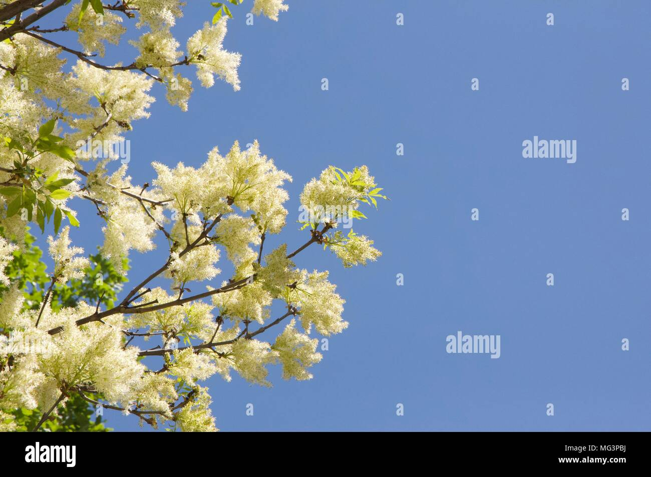 Tree With Yellow Flower With Blue Sky In Background Stock Photo