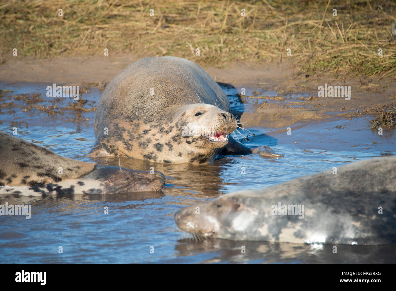 Donna Nook, Lincolnshire, UK – Nov 16: Squabbles frequently breaks out amongst grey seals come ashore for the birthing season on 16 Nov 2016 at Donna  Stock Photo