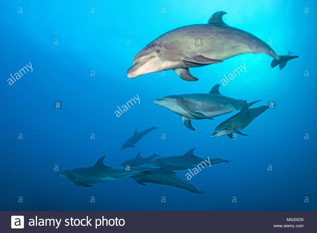 Grosser Tuemmler (Tursiops truncatus), Gruppe, Socorro Inseln, Mexiko | Bottlenose dolphin (Tursiops truncatus), group, Socorro islands, Mexico - Stock Image