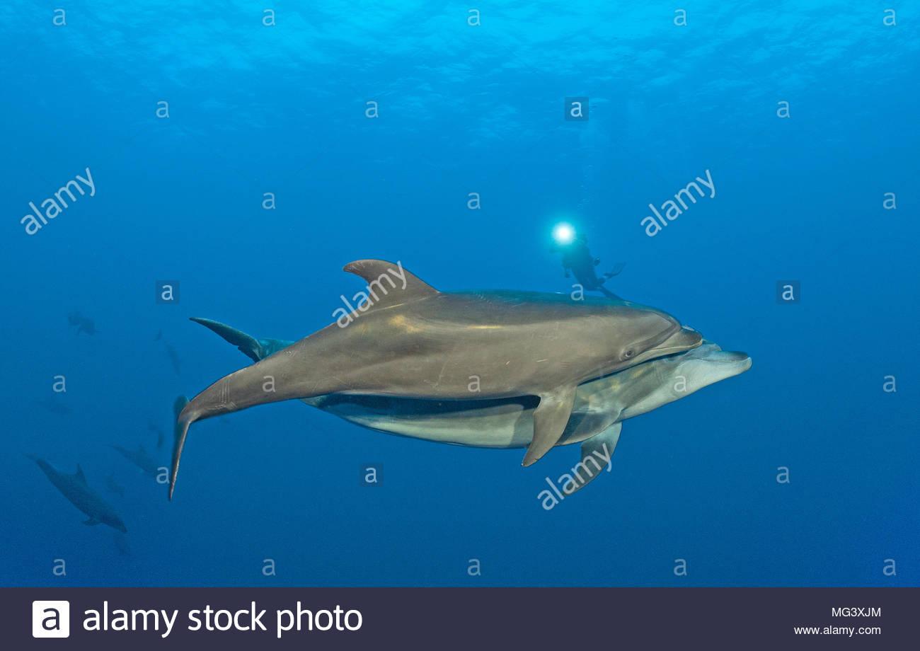 Grosser Tuemmler (Tursiops truncatus), Paar, Socorro Inseln, Mexiko | Bottlenose dolphin (Tursiops truncatus), pair, Socorro islands, Mexico - Stock Image