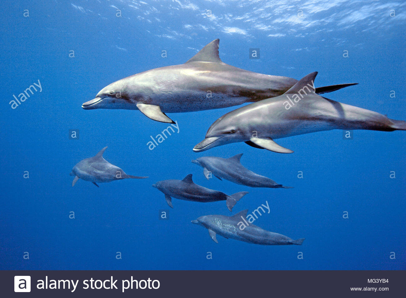 Indo-Pacific bottlenose dolphin (Tursiops aduncus), group, Ogasawara, Japan - Stock Image