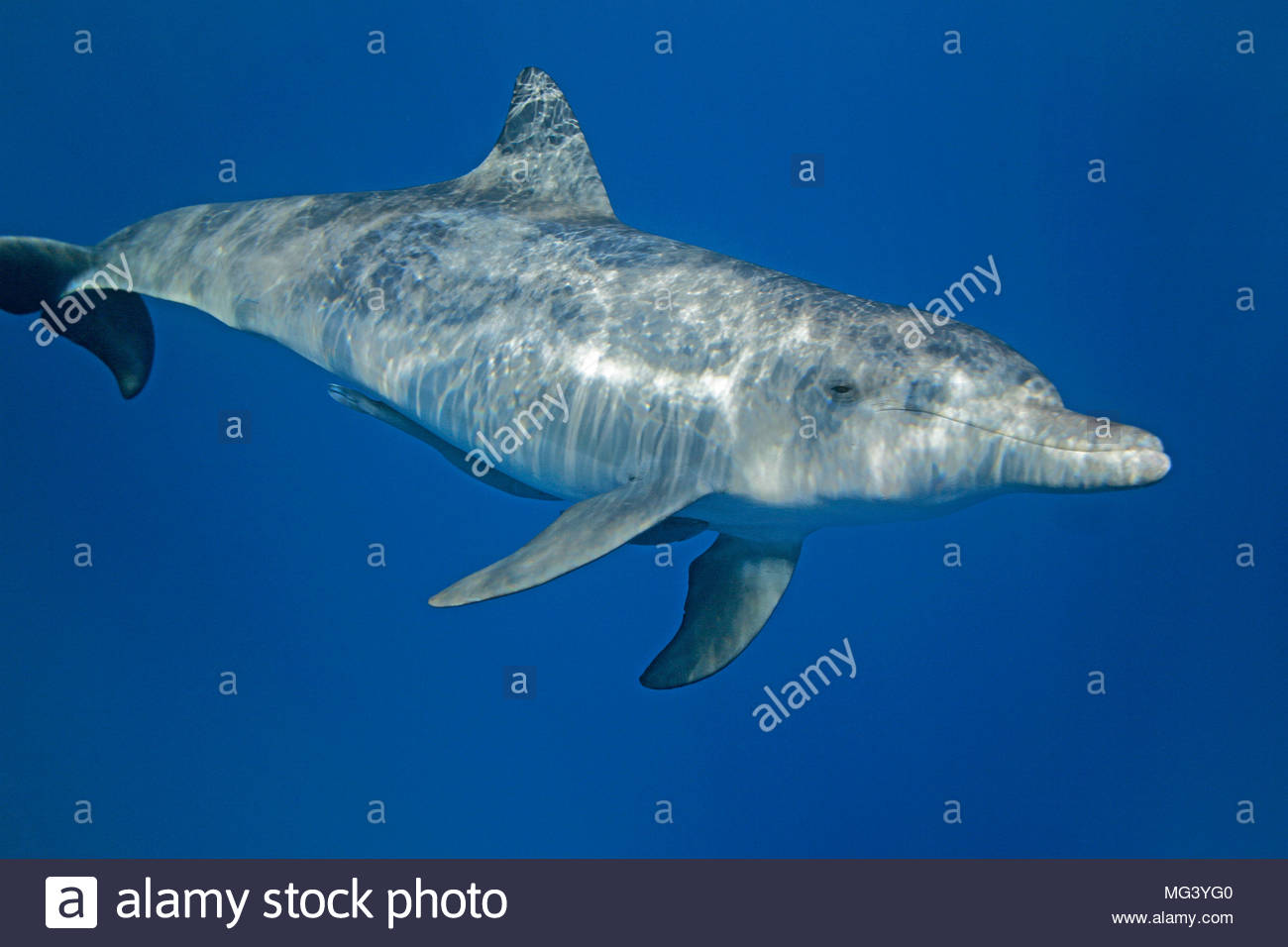 Indopazifischer Grosser Tuemmler (Tursiops aduncus), Ogasawara, Japan | Indo-Pacific bottlenose dolphin (Tursiops aduncus), Ogasawara, Japan - Stock Image
