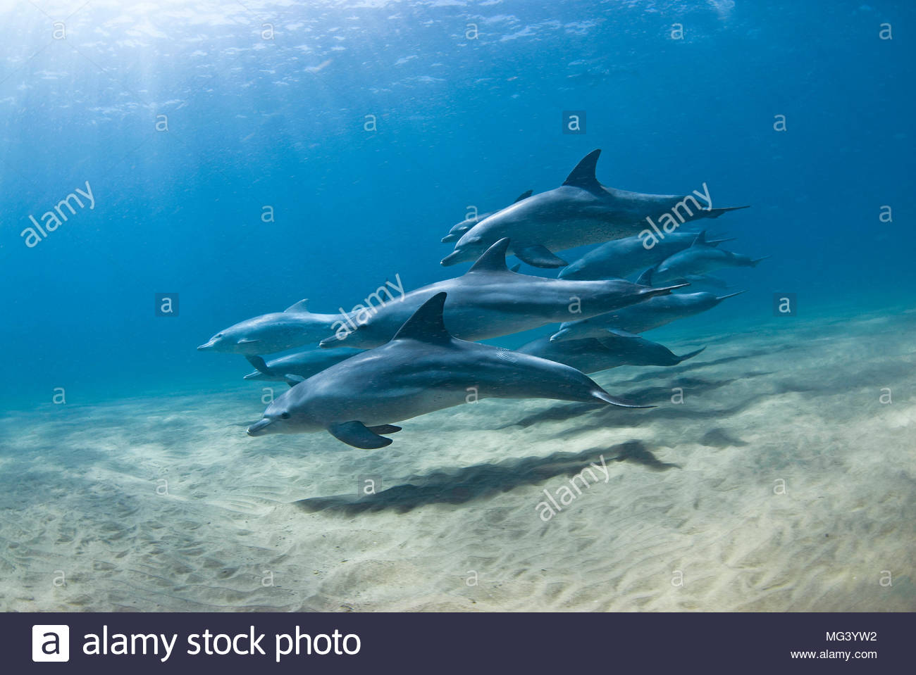 Grosser Tuemmler (Tursiops truncatus), Sodwana Bay, Suedafrika | Bottlenose dolphin (Tursiops truncatus), pod of dolphins, Sodwana Bay, South Africa - Stock Image