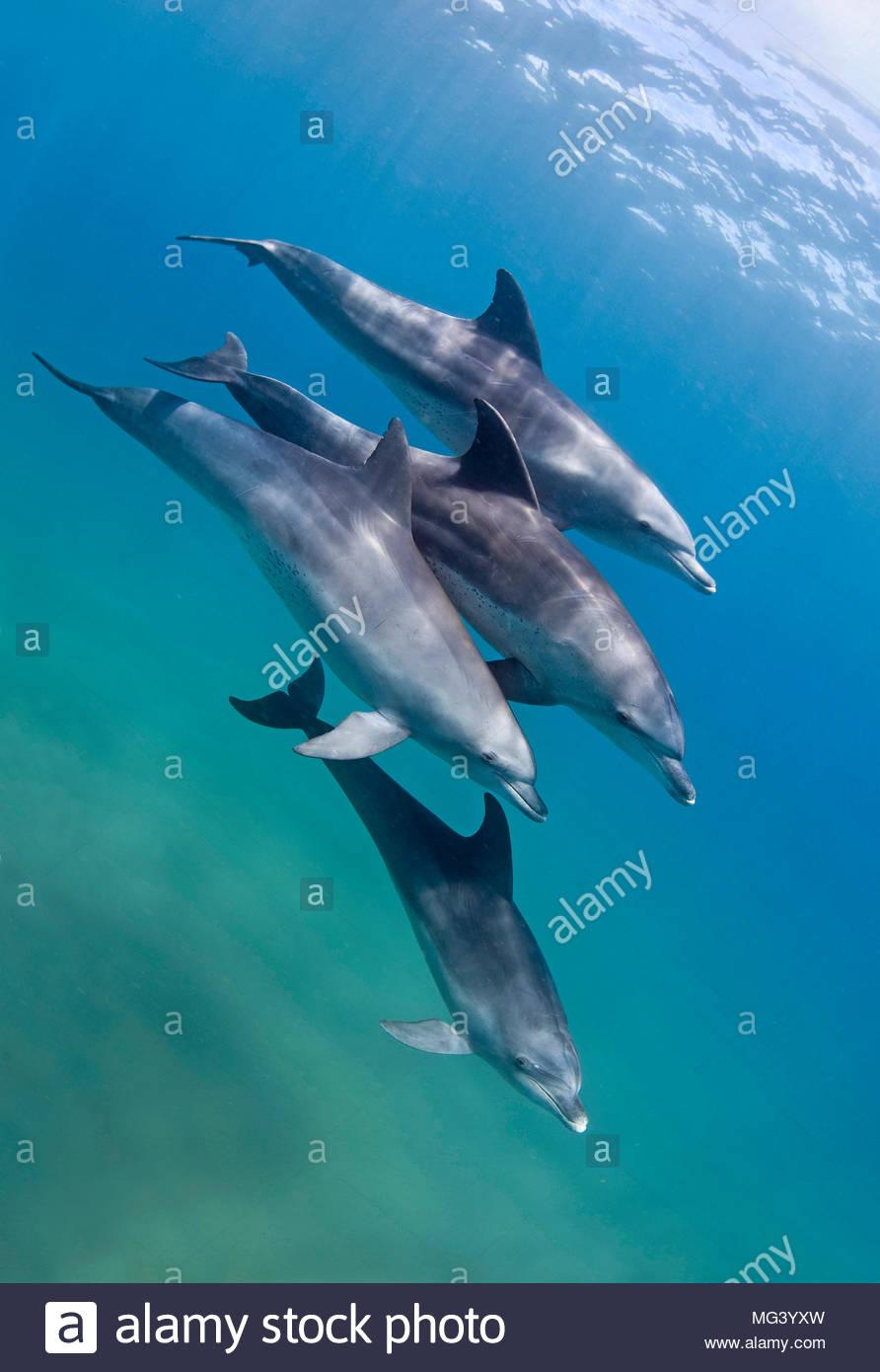 Grosser Tuemmler (Tursiops truncatus), Gruppe, Sodwana Bay, Suedafrika   Bottlenose dolphin (Tursiops truncatus), group, Sodwana Bay, South Africa - Stock Image