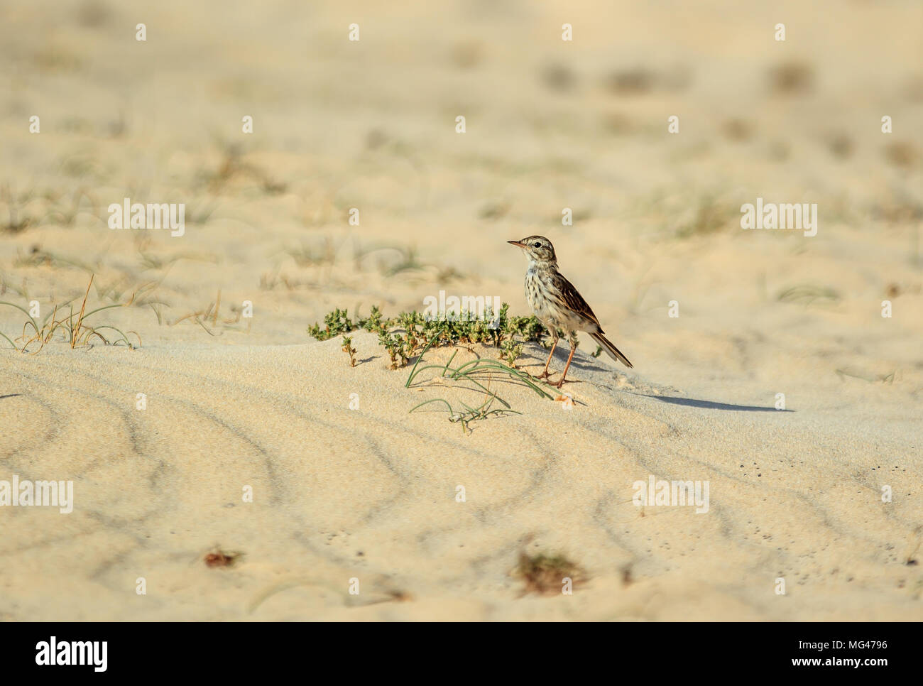 The Berthelot's pipit is a small passerine bird which breeds in Madeira and the Canary Islands. - Stock Image