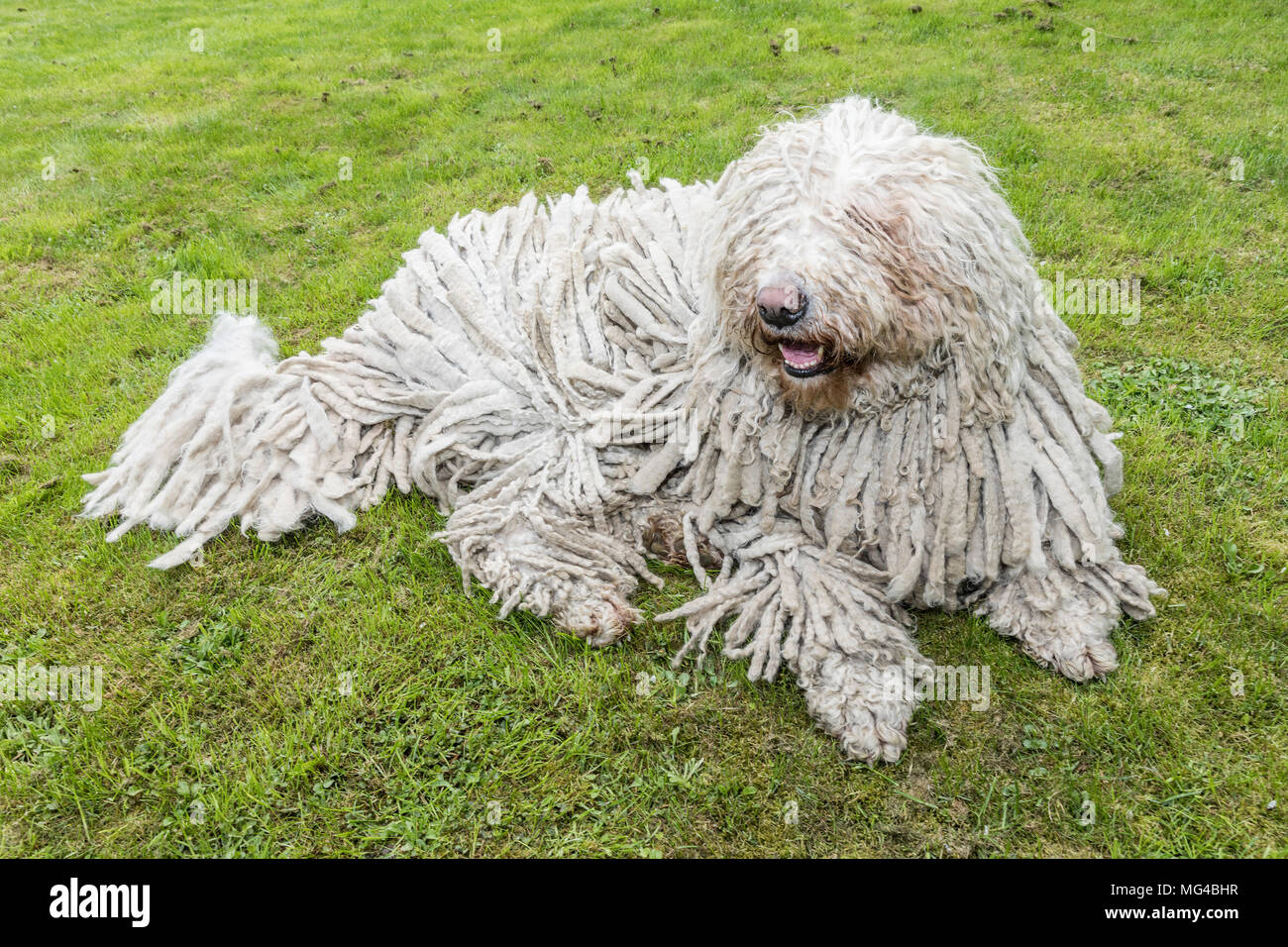 Big White Furry Dog Comodor In The Garden Komodor Dog Stock