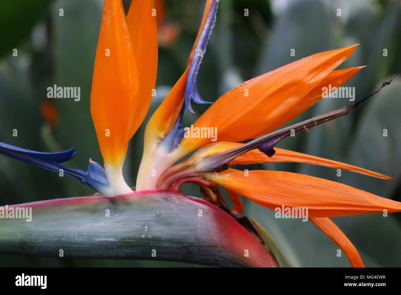 Bird of paradise flower head strelitzia reginae - Stock Image