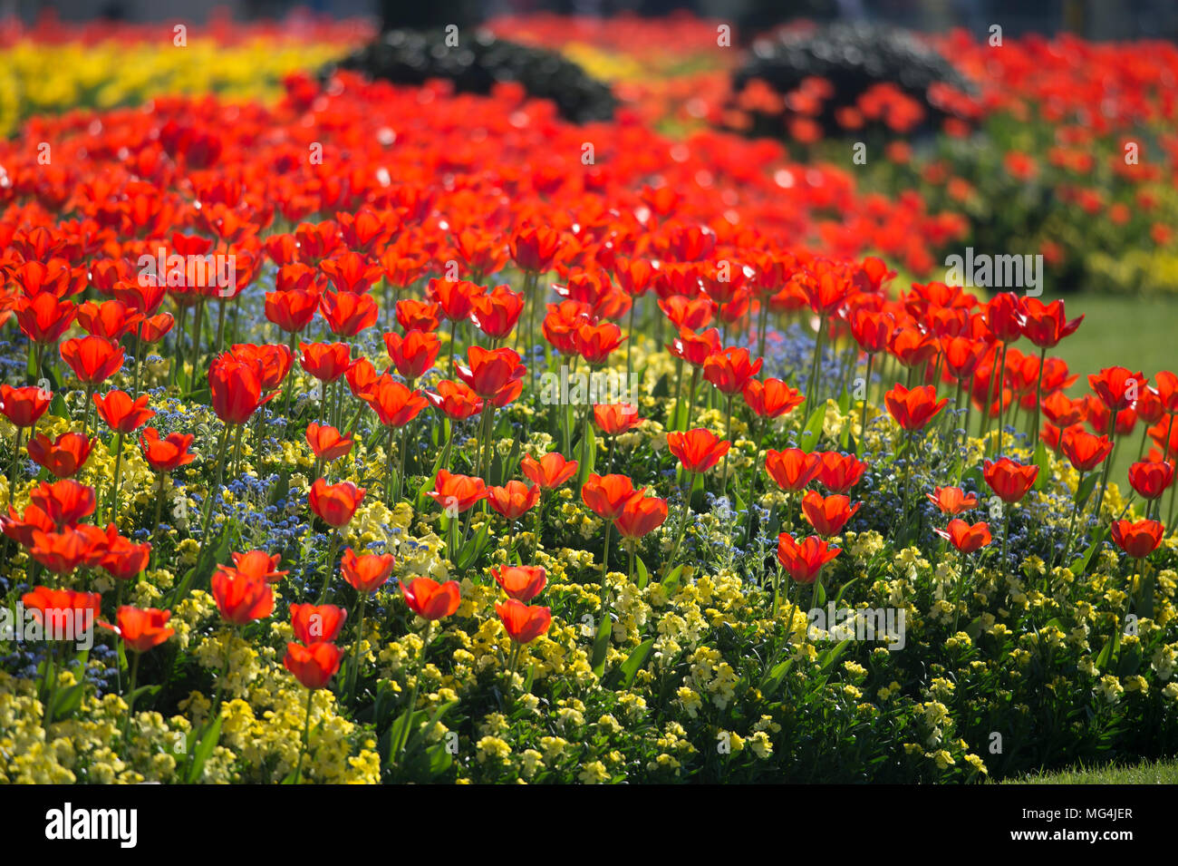 April 2018. Hot Spring weather in Green Park with tulips on display outside Buckingham Palace, London, UK - Stock Image