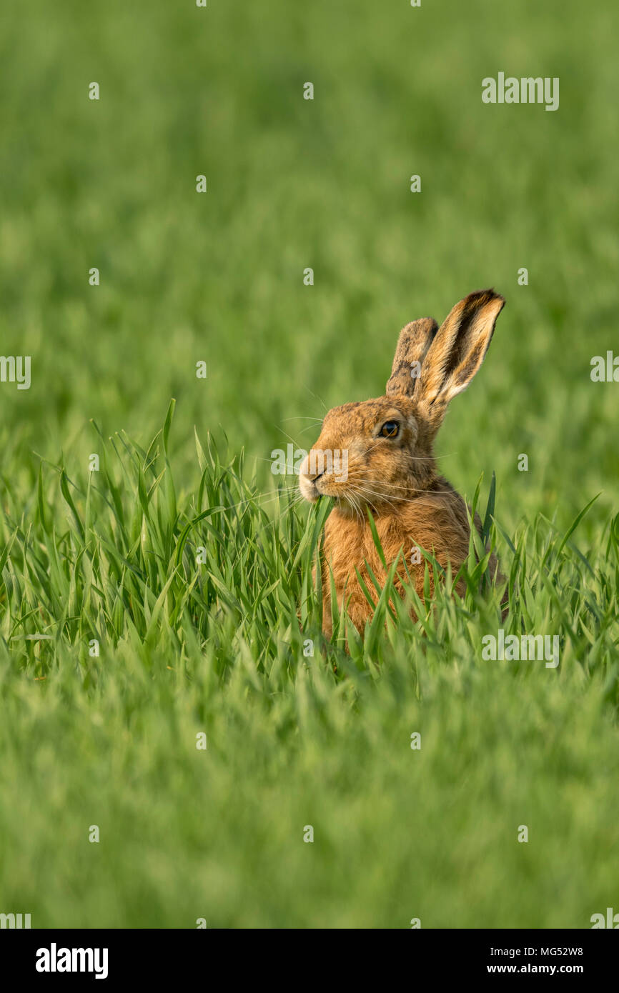 Brown Hare(Lepus europaeus) feeding in a Norfolk cereal crop. United Kingdom. - Stock Image