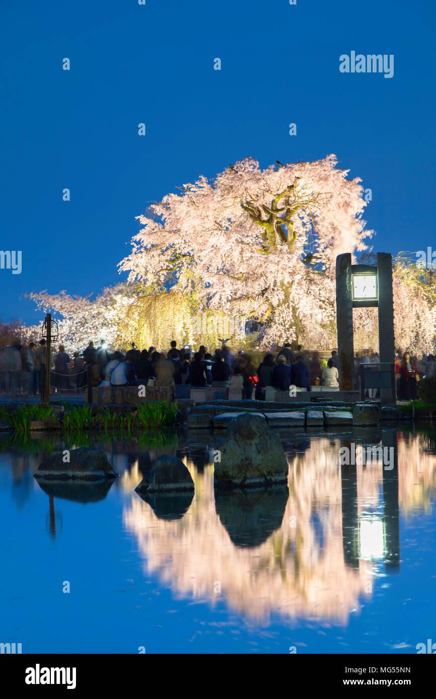 Gion Shidare Sakura tree at dusk, Maruyama Park, Kyoto, Kansai, Japan - Stock Image
