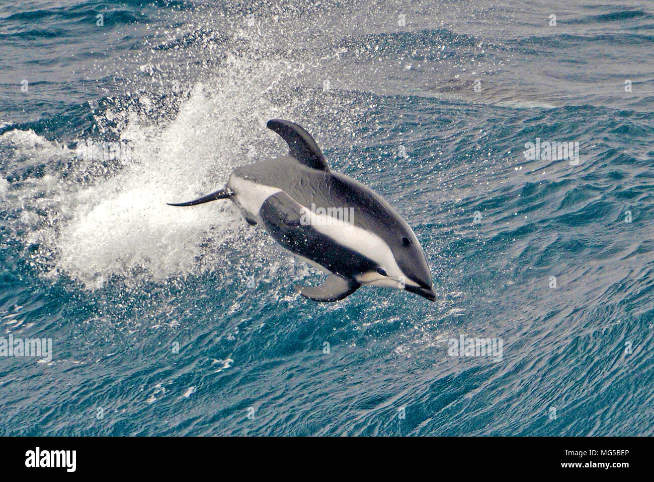 Hourglass Dolphin (Lagenorhynchus cruciger), leaping, South Georgia - Stock Image