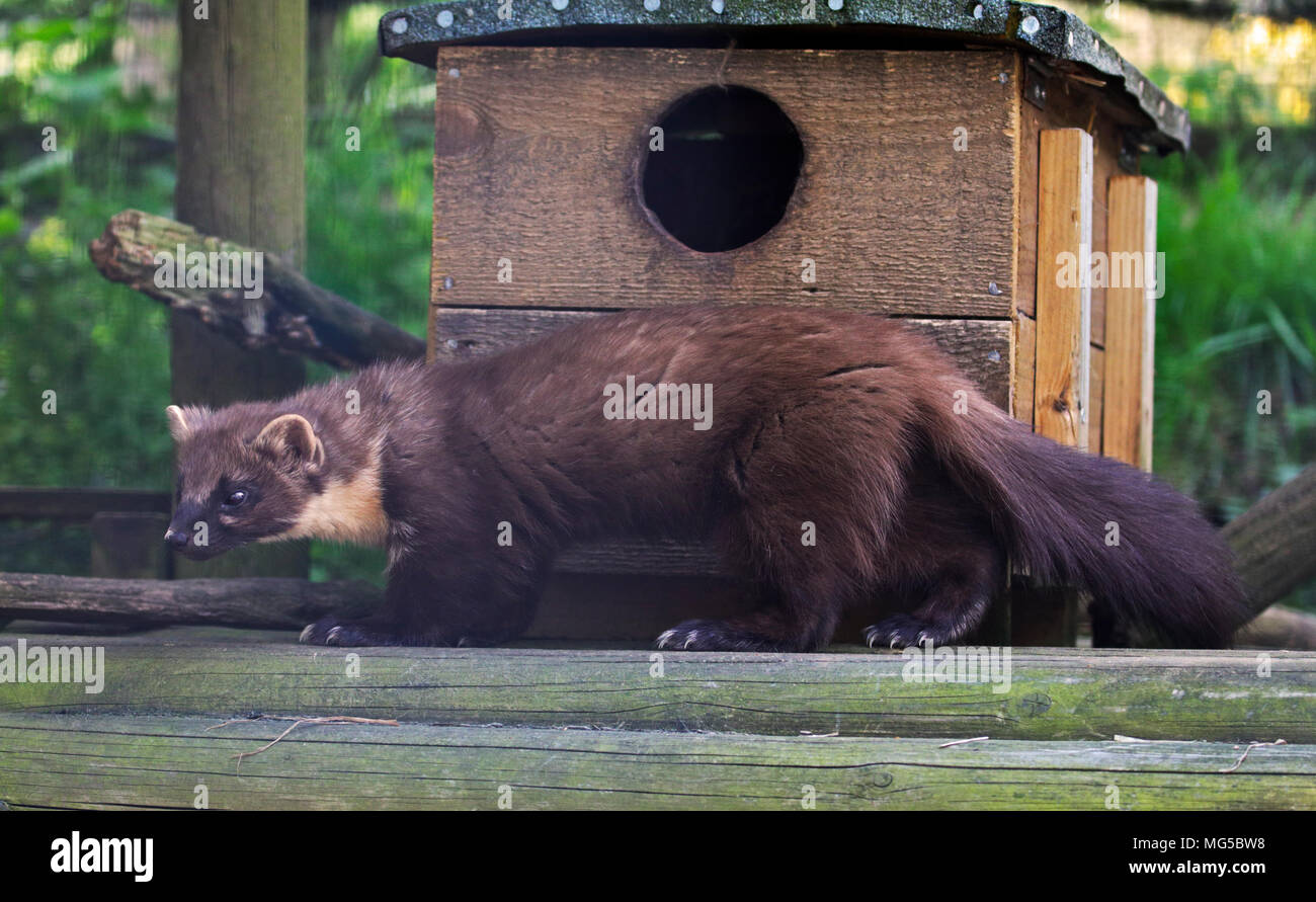 Martens Stock Photos Martens Stock Images Page 14 Alamy