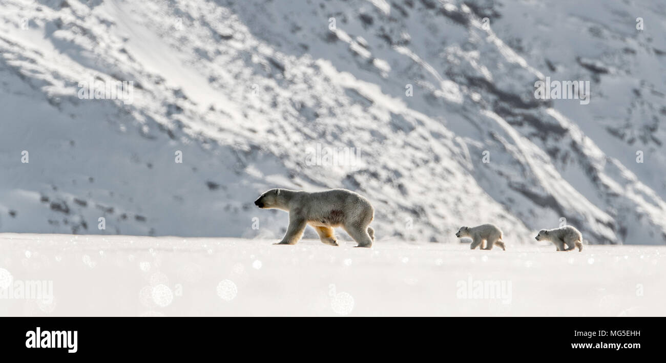 Mother polar bear and two of this years newborn cubs walk across the ice of a frozen fjord, Baffin - Stock Image