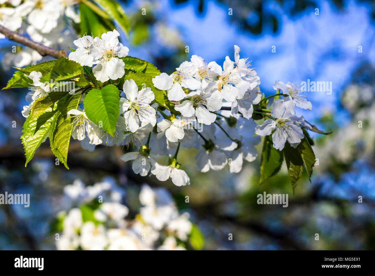 Apple Tree Blossoms Variety Of Delicate White Flowers April