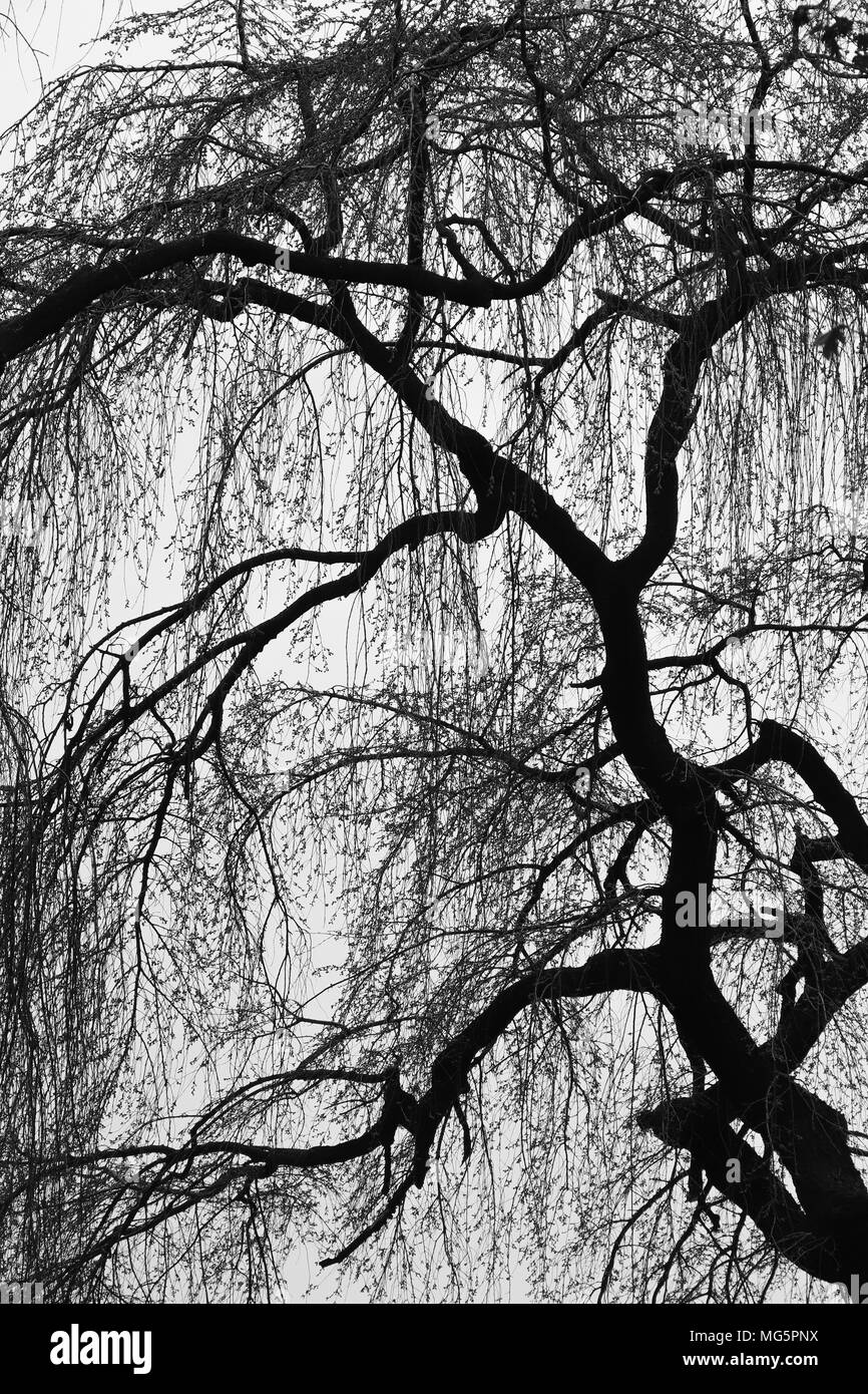 Weeping willow type tree with drooping branches silhouetted against an overcast sky in early spring, leaves just starting to bud out. B&W version. - Stock Image