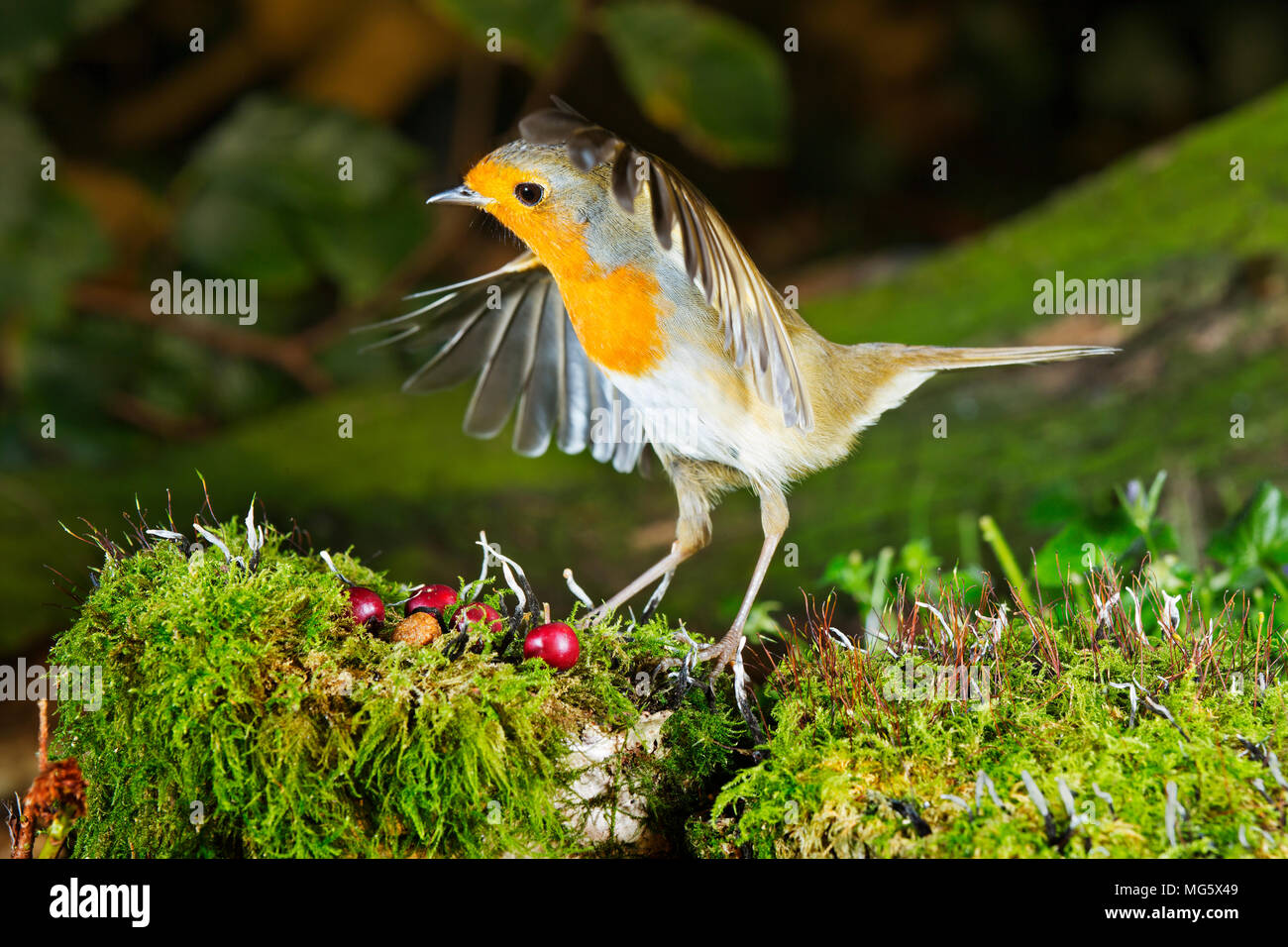 A Robin (Erithacus rubecula) coming into land in a garden in Devon UK - Stock Image