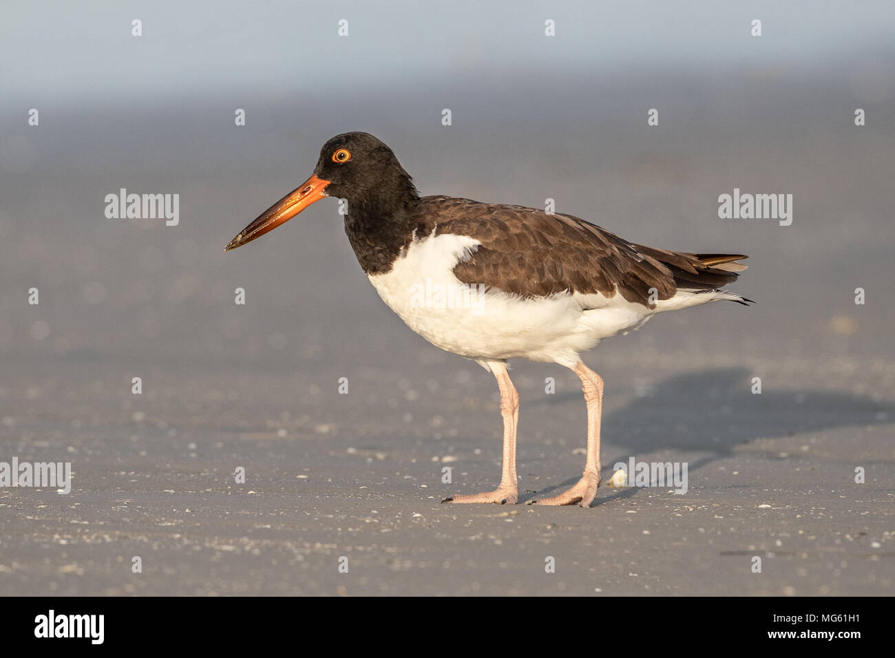 American Oystercatcher Florida Stock Photo